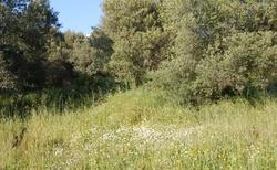Olivové háje s trávou po prsa